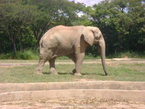 Foto: Elefante - Zoológico de Belo Horizonte