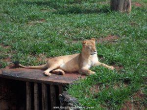 Foto: Leoa - Zoológico de Belo Horizonte