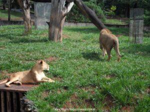 Foto: Leões - Zoológico de Belo Horizonte