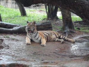 Foto: Tigre - Zoológico de Belo Horizonte